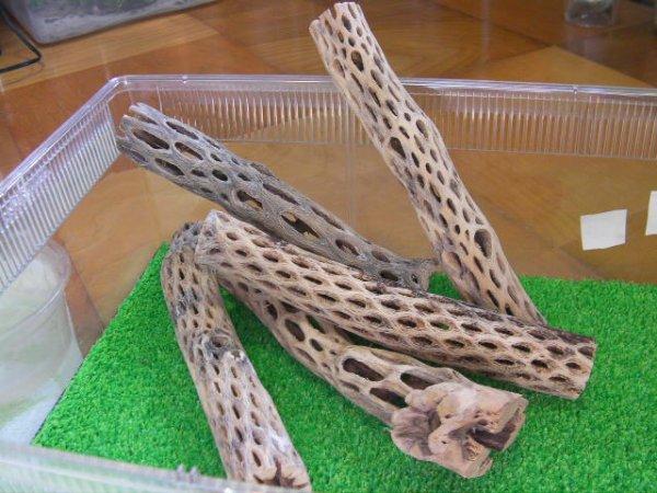 画像1: 天然サボテンの骨(棒状) 細20cm