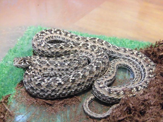 美! モンペリエヘビ 約70cm 1