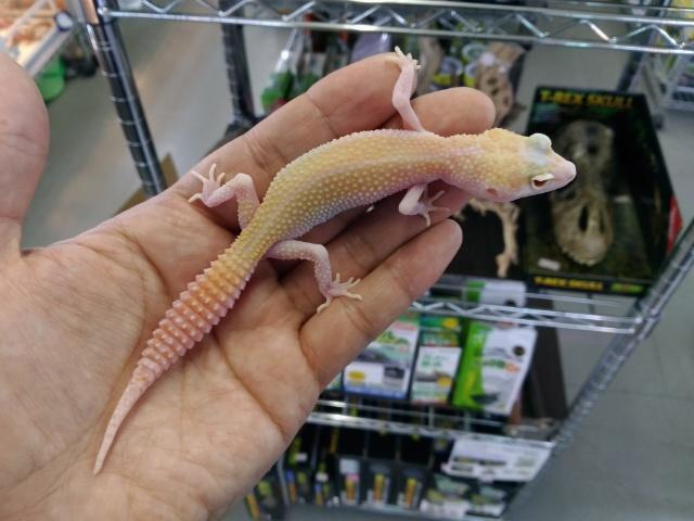 美! ホワイトアンドイエローラプター(ヒョウモントカゲモドキ) 約15cm♀ S
