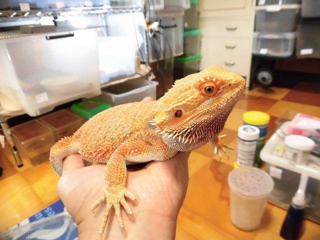 美! フトアゴヒゲトカゲ(ハイポオレンジ) 約38cm♀ A