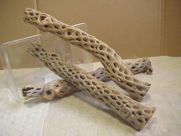 画像1: 天然サボテンの骨(棒状) 太50cm