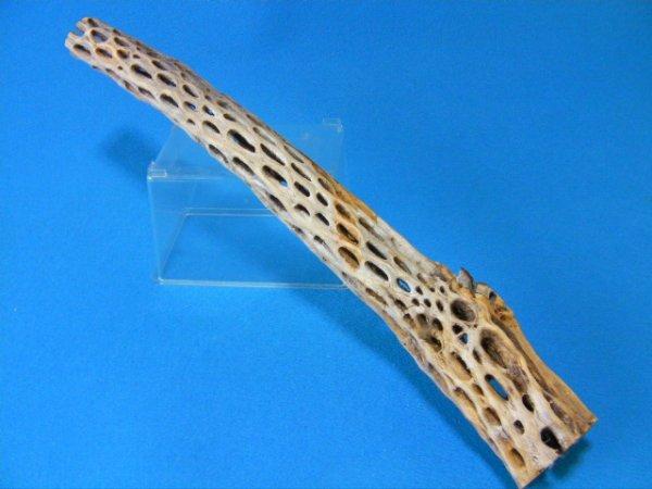画像1: 天然サボテンの骨(棒状) 太65cm