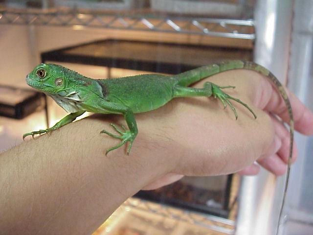 グリーンイグアナの飼育について